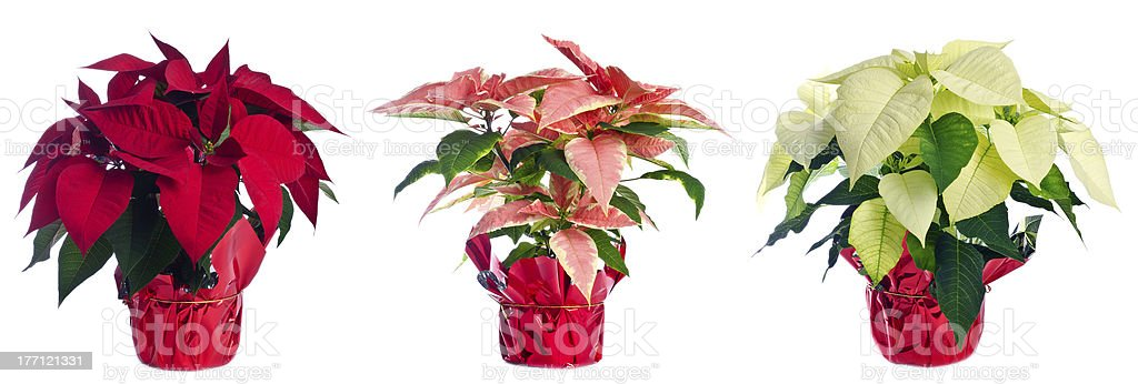 Three Pots of Poinsettia Isolated on White stock photo