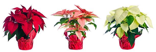 three pots of poinsettia isolated on white - kerstster stockfoto's en -beelden