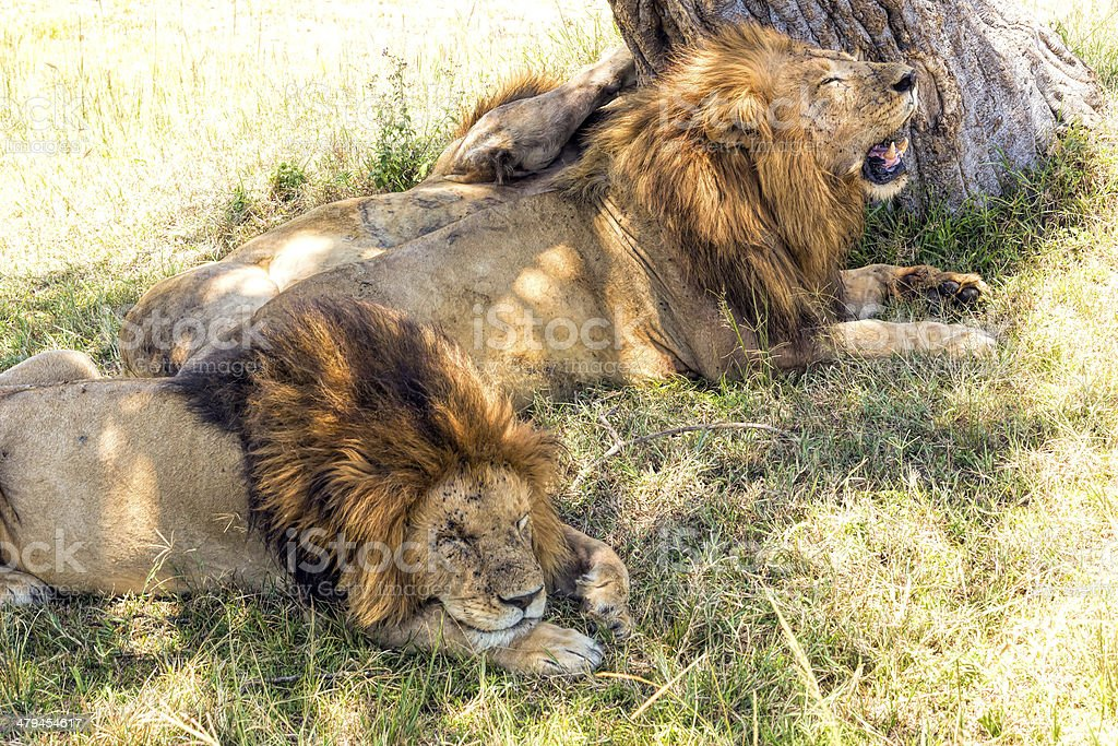 Three Predator King Lions at wild - resting after hunting stock photo