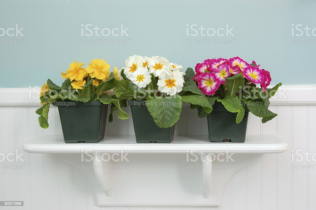 Three Primroses royalty-free stock photo