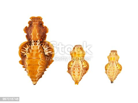 istock Three pupae of the Atrophaneura genus butterflies isolated on white background 997018748