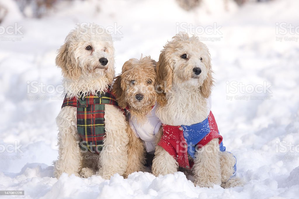 three puppies in snow royalty-free stock photo