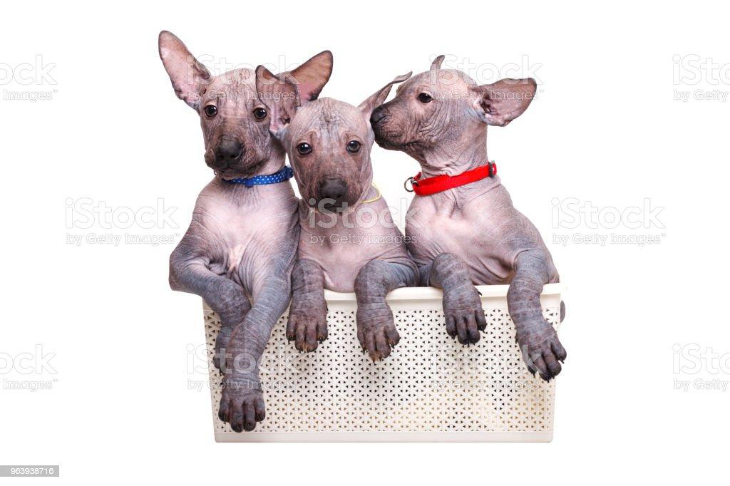 子犬メキシコ裸犬バスケットに座って色の首輪。白い背景上に分離。 - クローズアップのロイヤリティフリーストックフォト