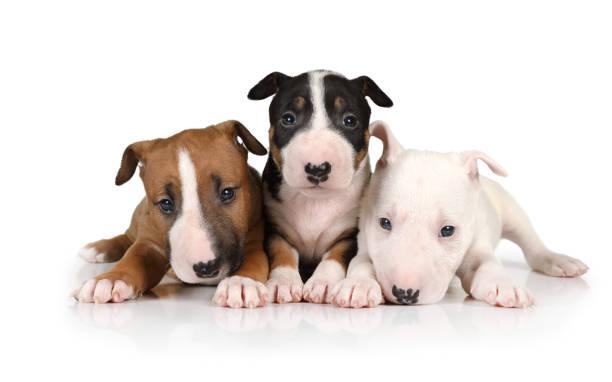 Tres cachorros Miniature Bull Terrier de diferentes colores - foto de stock