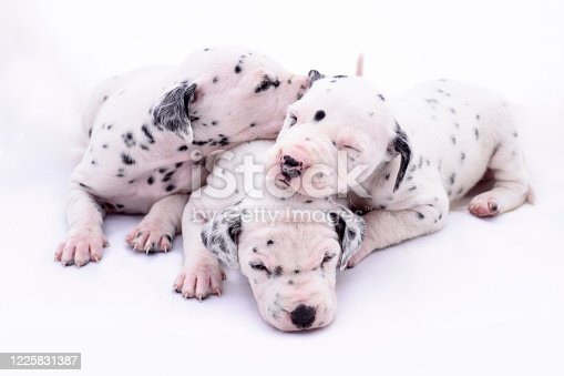 Three puppy dogs of the Dalmata breed on white background. Precious animals.