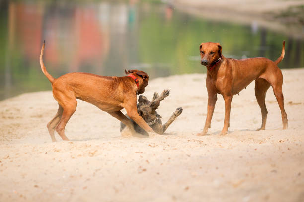Three purebred dogs walking and playing stock photo