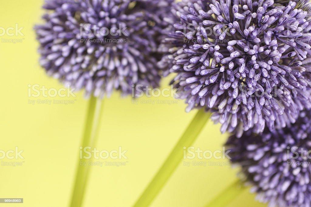 Three purple Alium flowers royalty-free stock photo