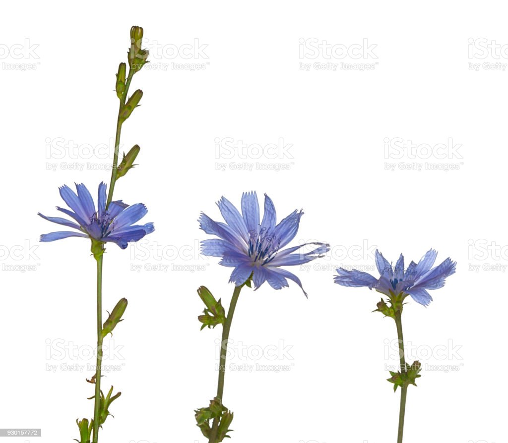 Three Purple Chicory Flowers Stand Upright stock photo