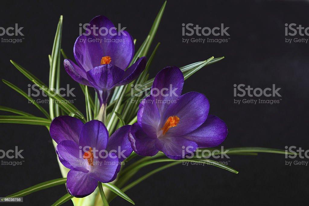 Three Purple Crocus royalty-free stock photo