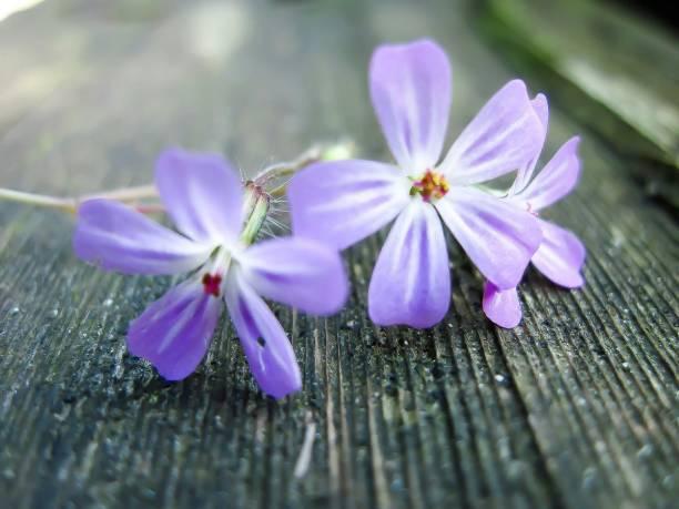 Drei lila Blumen – Foto