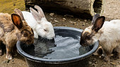 Three rabbits drinks water in the basin during the hot days.
