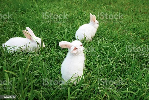 Three rabbits on the lawn picture id152021743?b=1&k=6&m=152021743&s=612x612&h=ej3odts8kgpujqgo0nb n enbw8rpv9zvmnyj5mfsc8=