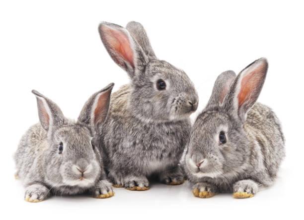 Drei Kaninchen. – Foto