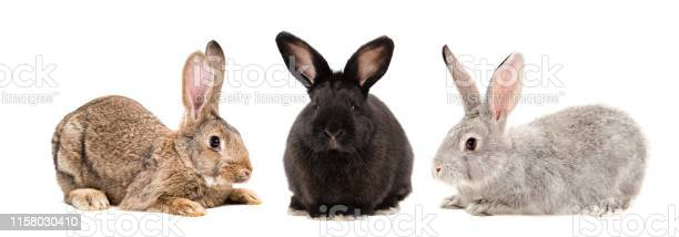 Three rabbits together isolated on white background picture id1158030410?b=1&k=6&m=1158030410&s=612x612&h=zm 2m3rgc5vxlufk6auyetvt w5ulqerkgbohukxjas=