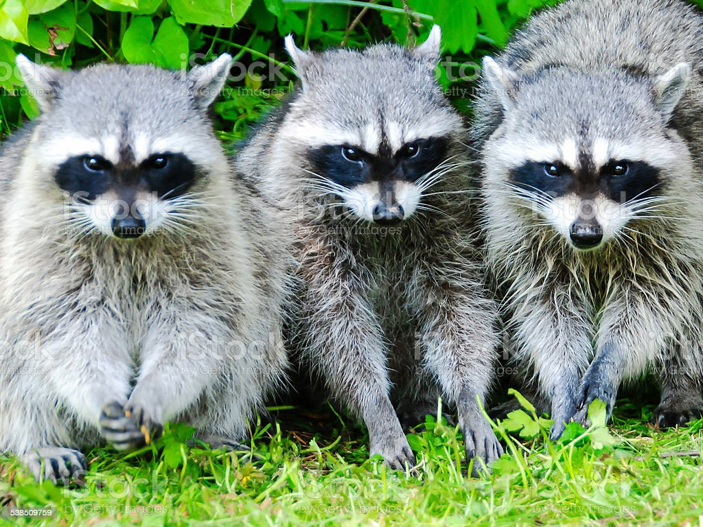 Three Raccoon stock photo