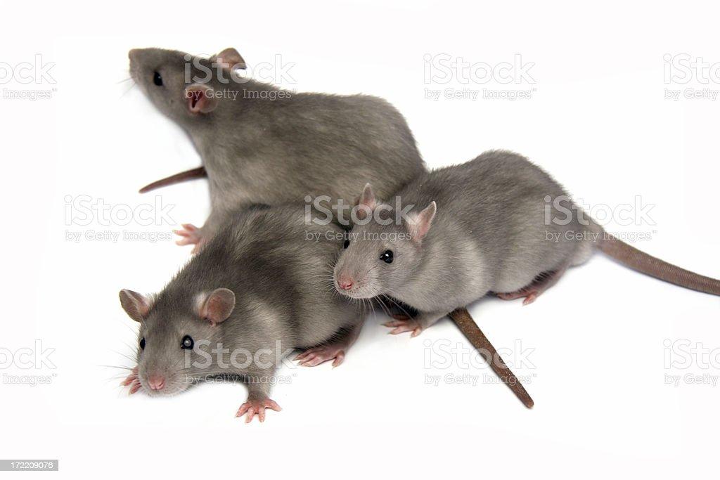 Three rats royalty-free stock photo