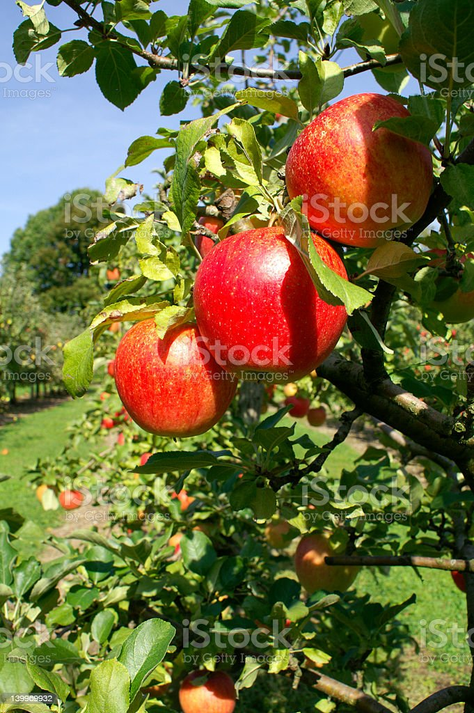 Three red apples on an apple tree royalty-free stock photo