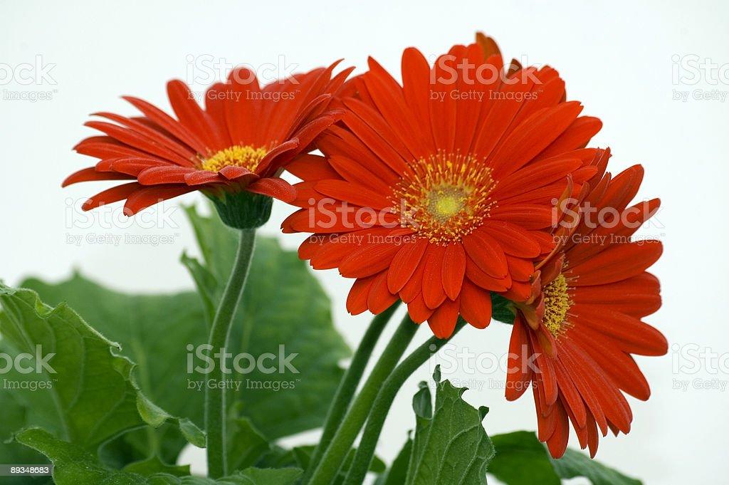 Three red chrysanthems royalty-free stock photo