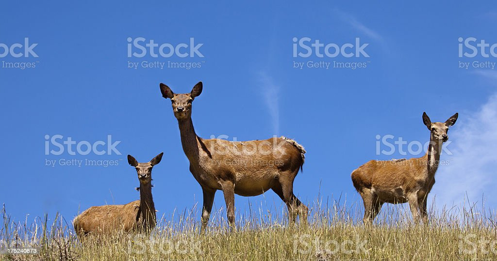 Three Red Deer hinds, farmed in Nelson,New Zealand royalty-free stock photo