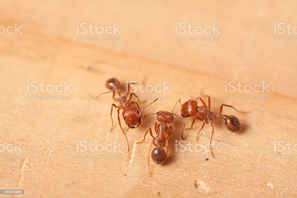Three red fire ants on wood surface stock photo