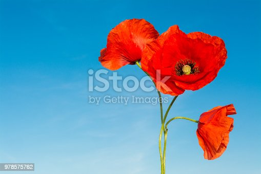 Beautiful close-up of wild corn poppy silhouettes in bloom against clear azure heaven. Sunny warm spring weather. Drug