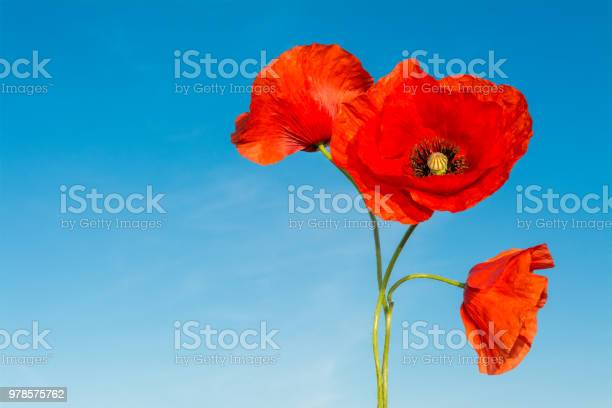 Three red flowers of poppies on a blue sky background papaver rhoeas picture id978575762?b=1&k=6&m=978575762&s=612x612&h=may27gzqctoyjz9uq1cuq3icyzqpdlms5y3b og zns=