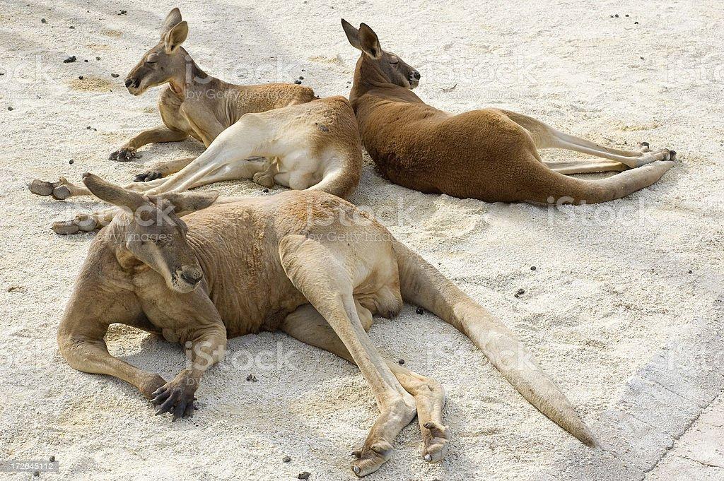 Three Red Kangaroos stock photo
