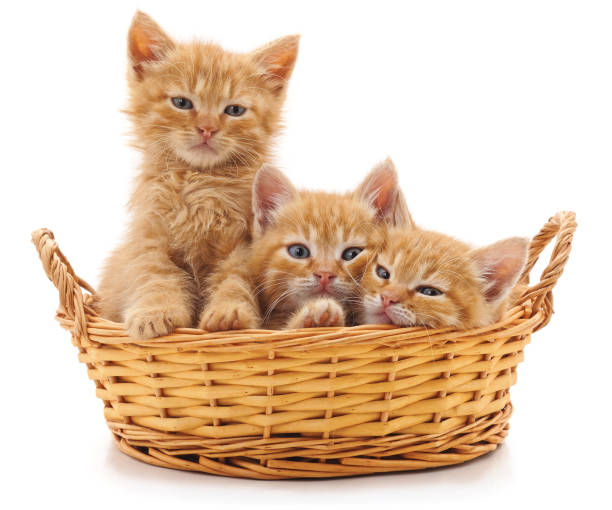 Three red kittens in a basket picture id1015914614?b=1&k=6&m=1015914614&s=612x612&w=0&h=d7sls7ox4sdaqnpf16c8nwkxtc 0zwqmdtggffgx2y0=