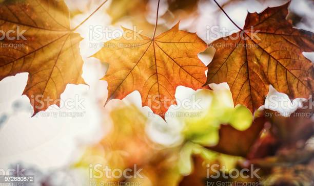 Photo of Three Red Maple Leaf