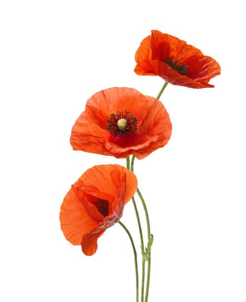 three red poppies isolated on white background. - pręcik część kwiatu zdjęcia i obrazy z banku zdjęć