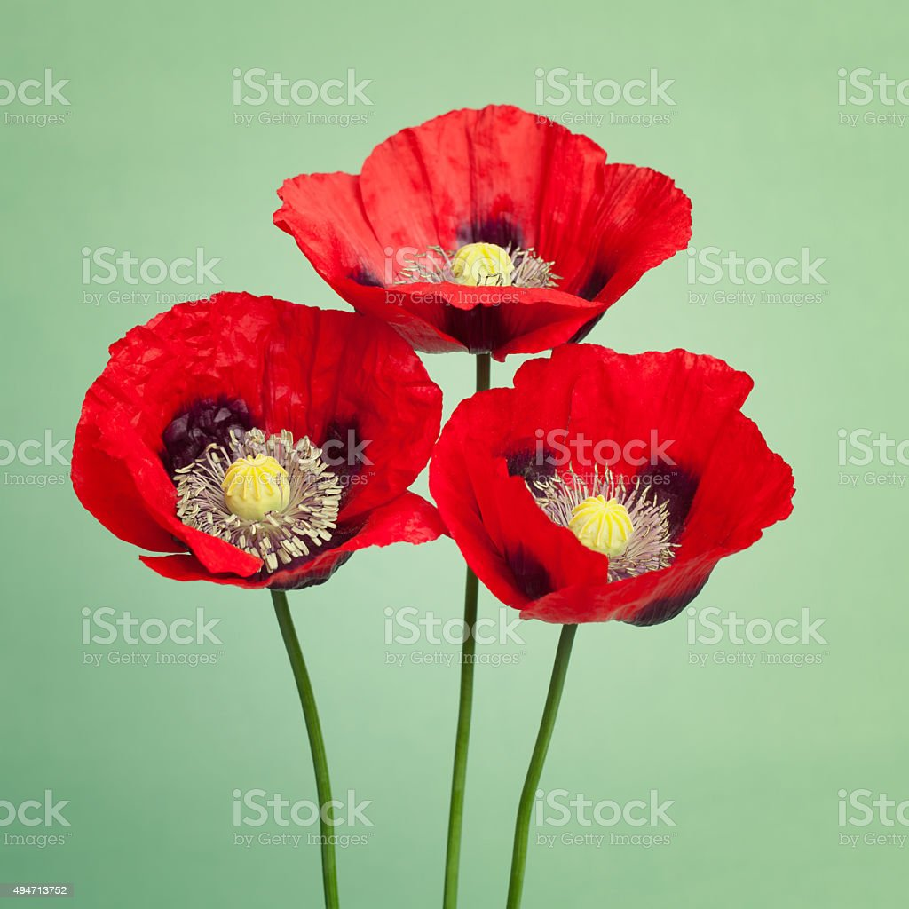 Three red poppies on trendy green background stock photo