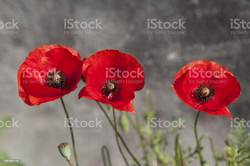 Three Red Poppies With Unusual Background royalty-free stock photo