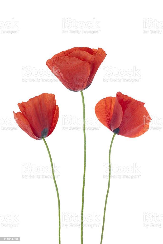 Three red poppy flowers on white background stock photo
