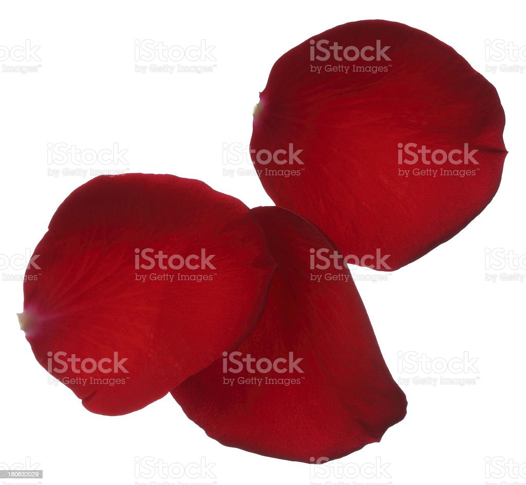 Three red rose petals isolated on white background royalty-free stock photo
