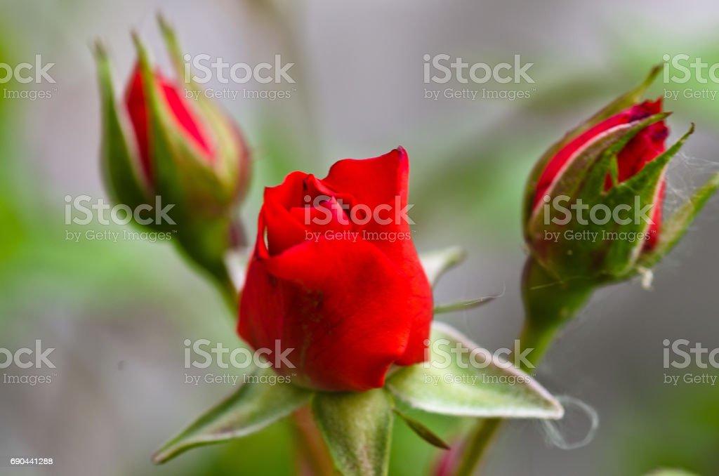 Three red rose stock photo