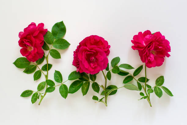 Three red roses on white background stock photo