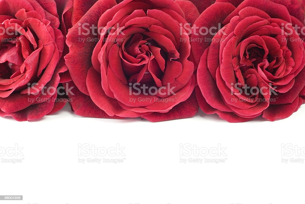 Three Red Roses White Background royalty-free stock photo