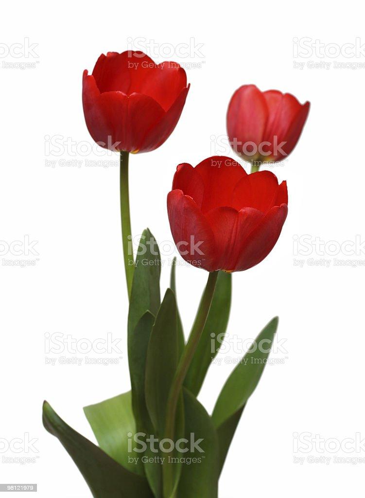 Tre rosso Tulipano casco foto stock royalty-free