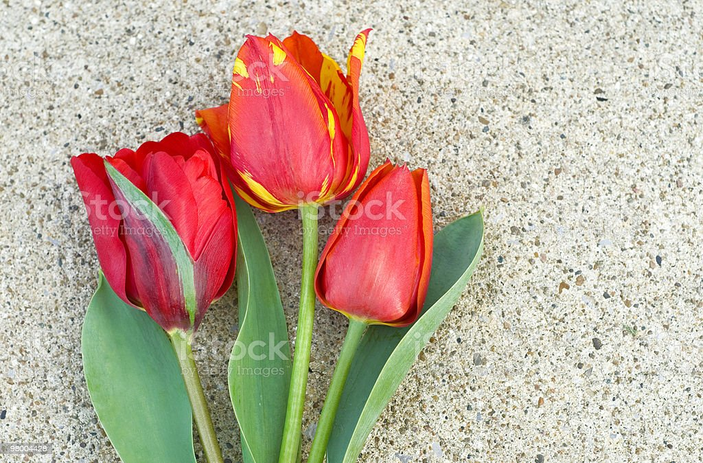 Three Red Tulips on Concrete Background royalty-free stock photo