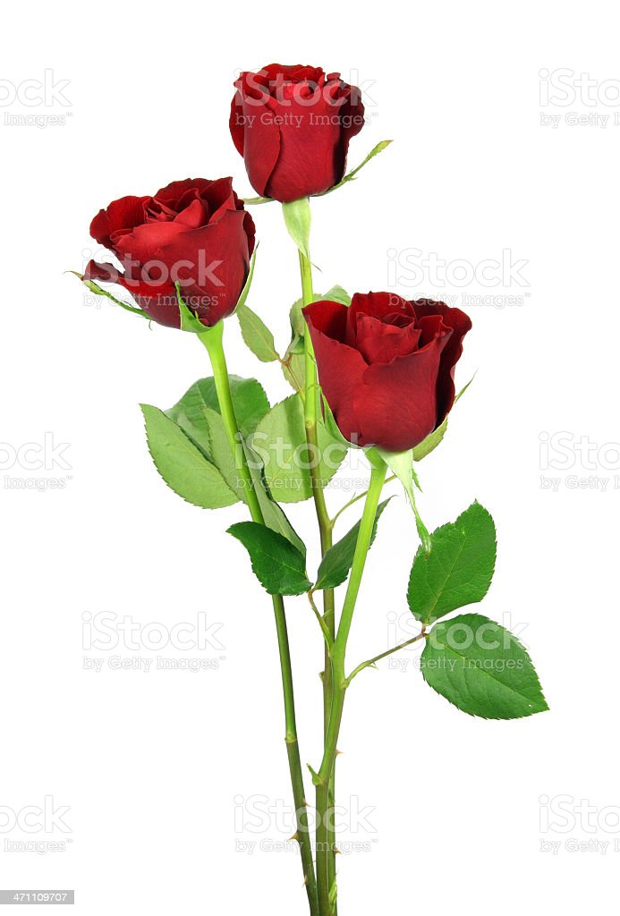 Three red upright roses isolated on white background stock photo