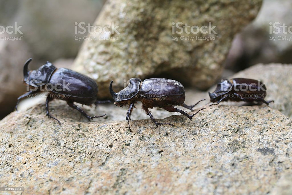 Three rhino beetles stock photo