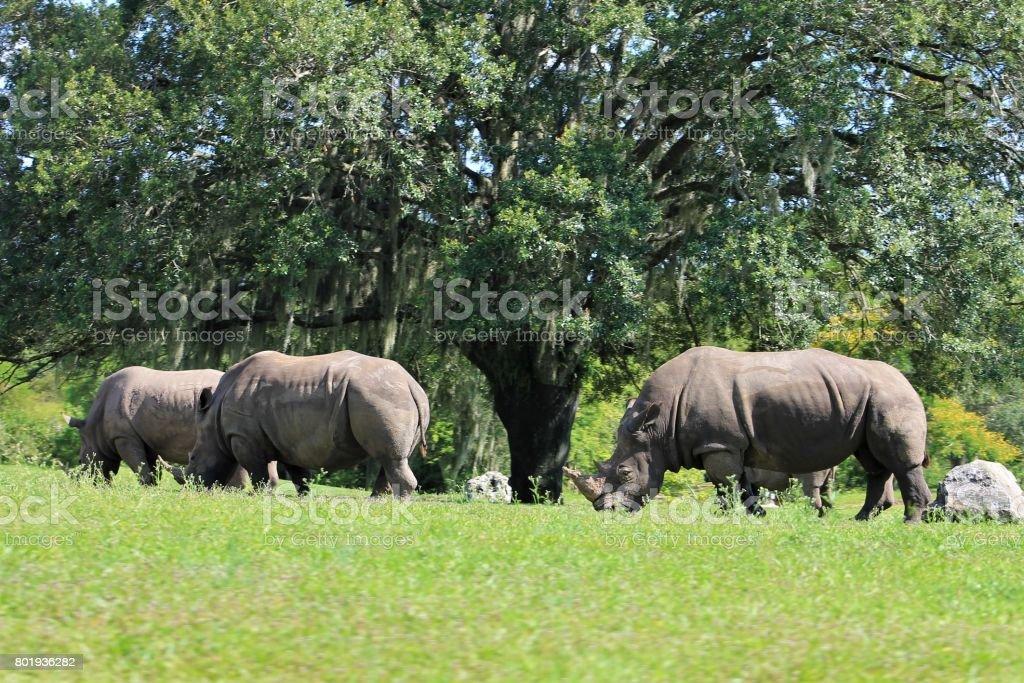 Three Rhinoceroses circling a tree stock photo