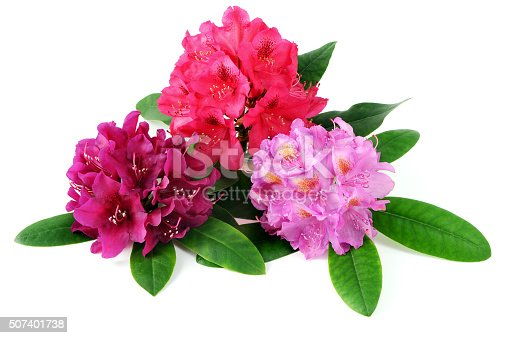 pink Rhododendron See also my other Rhododendron images: