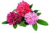 three red pink purple rhododendron flowerheads on white isolated background