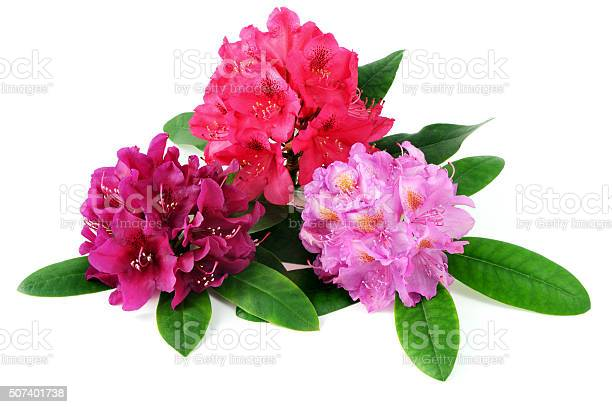 Photo of three rhododendron flowerhead on white isolated background