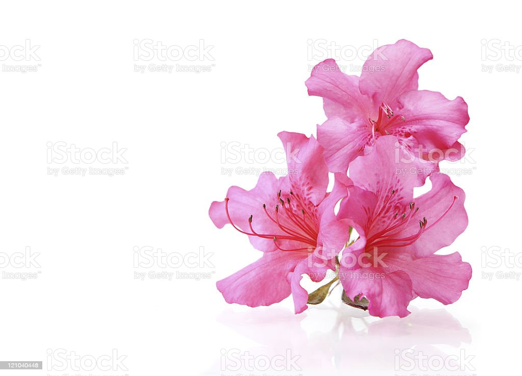 Three Rhododendron stock photo