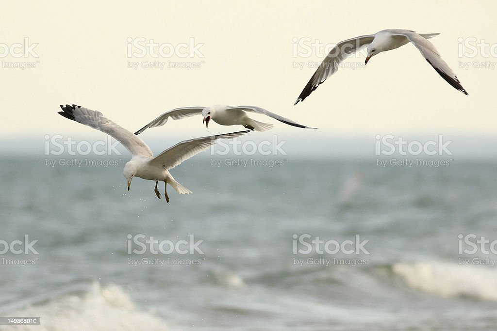 Three Ring Billed Gulls in Flight stock photo