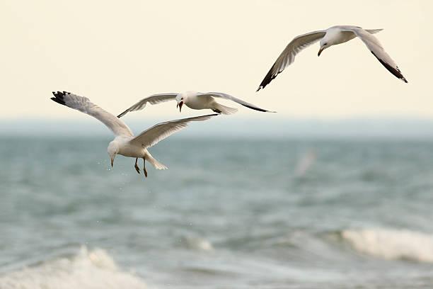 Three Ring Billed Gulls in Flight stock photo