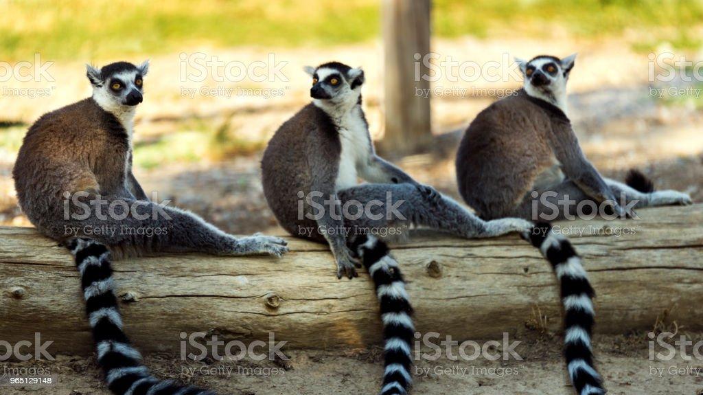 Three ring tailed lemur sitting on a tree on the ground. zbiór zdjęć royalty-free