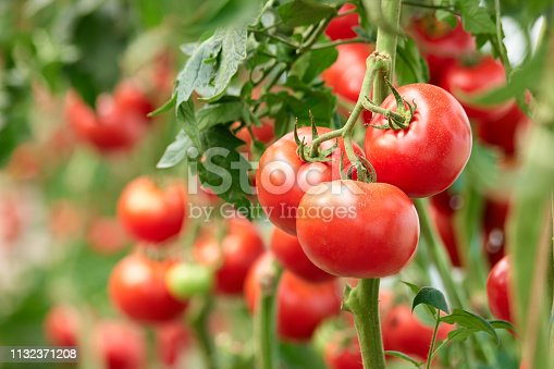 Three ripe tomatoes on green branch. Home grown tomato vegetables growing on vine in greenhouse. Autumn vegetable harvest on organic farm.